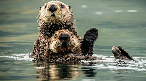 Otters Can Count on Their Friends to Gain Access to Food