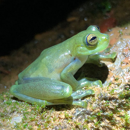 Glass Frogs Living Near Roaring Waterfalls Wave Hello To Attract Mates