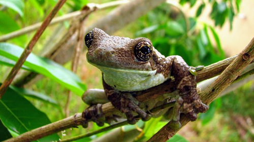 Brazilian Tree Frogs Have Adopted an Unusual Breeding Strategy