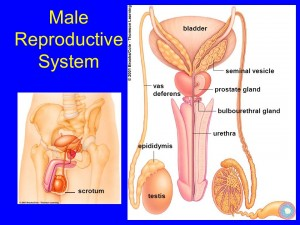 male reproductive picture