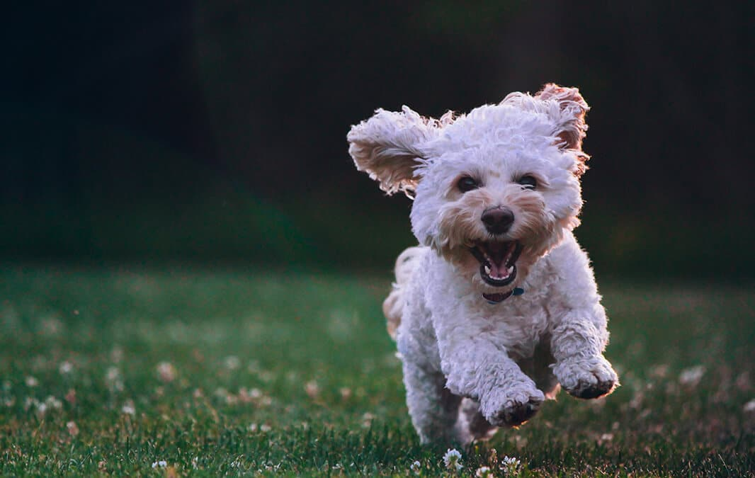 white dog running on grass