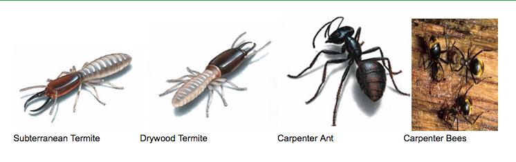 Termite Info