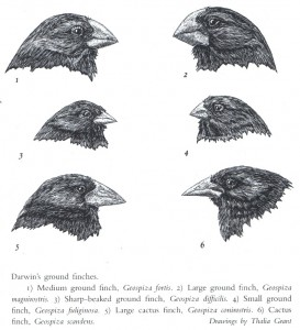Finches from Beak
