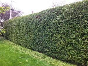Cedar hedge trimming
