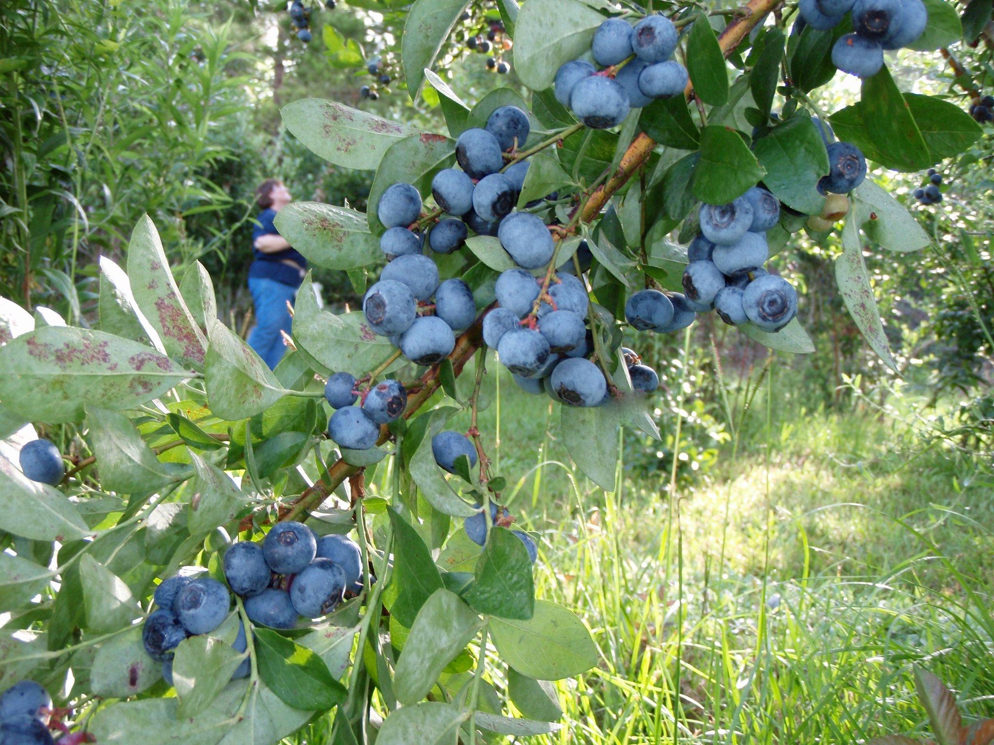 Berry Sweet Orchards (Ethel, LA)