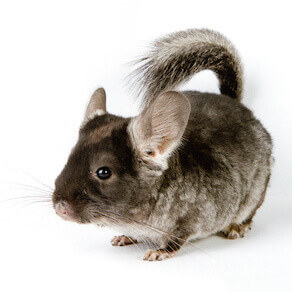 Silver Chinchilla