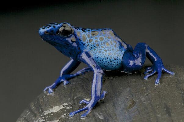 Azure dart frog