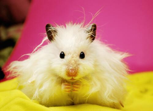 White syrian hamster.