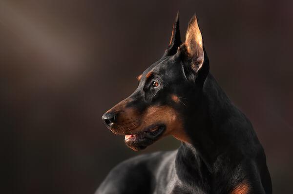 adult doberman pinscher dog