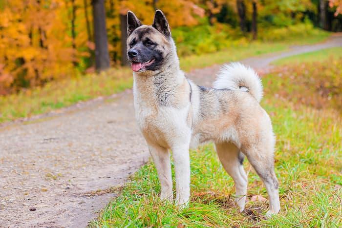 wolf like akita dog