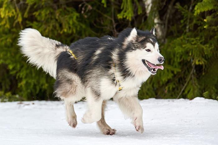 malamute running like a wolf