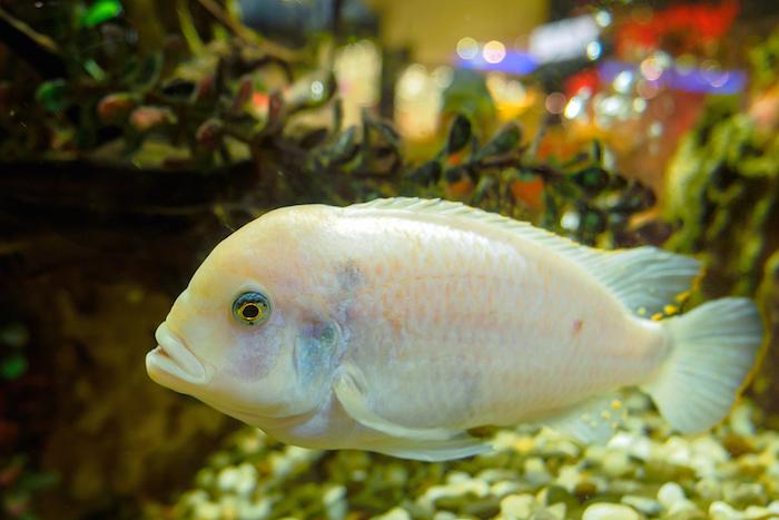 Oscar Albino Fish
