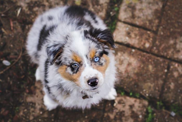 Australlian Shepard Puppy