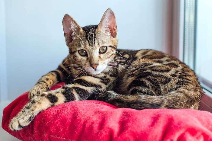 bengal kitten on a pillow