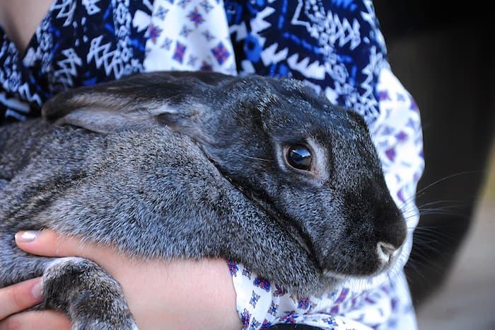 Flemish Bunny