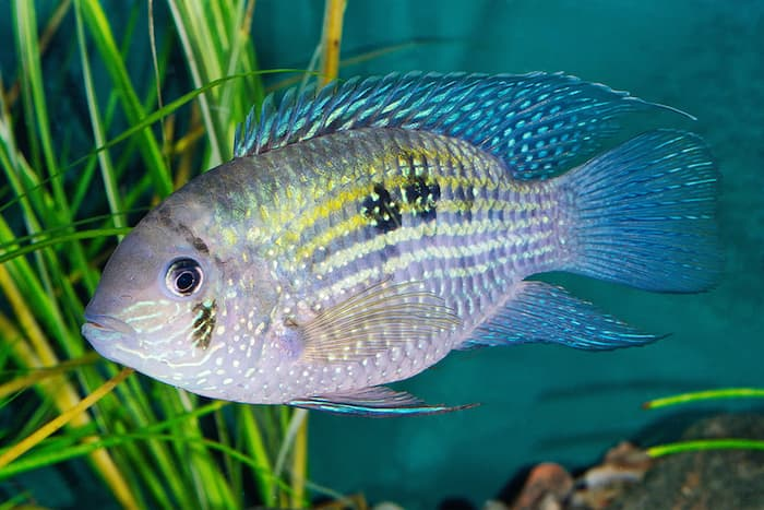 blue acara fish