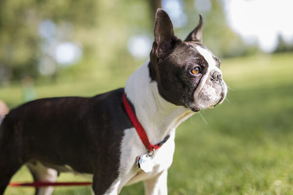 Boston Terrier Ears Up