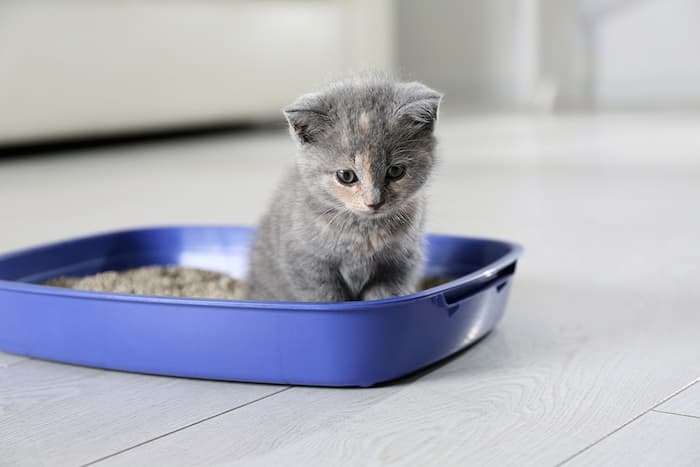 British shorthair kitten in a litter box