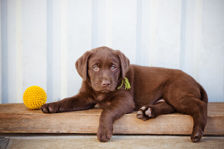 Brown Lab Puppy