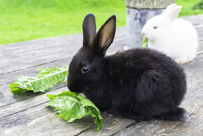 bunny rabbits eating greens