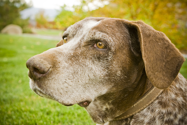 aged senior dog care