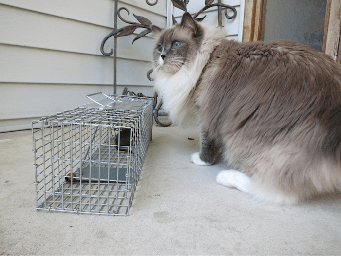 domestic cat next to wild animal trap