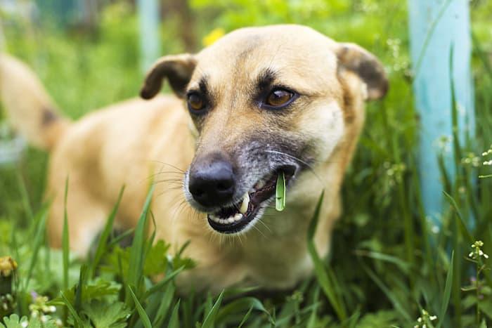 Dog Eating Grass