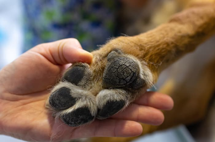 dog paw pad health
