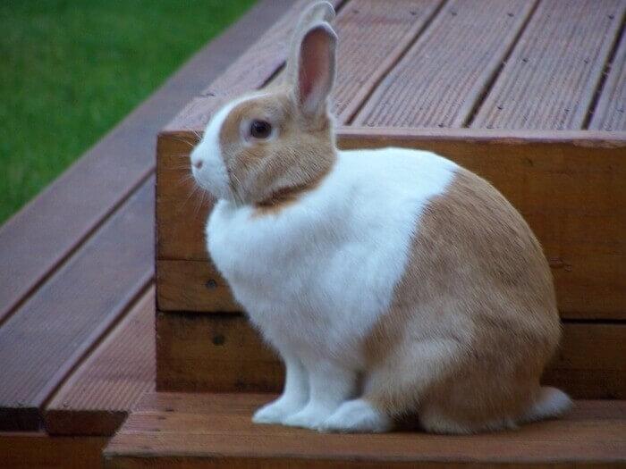 Rabbit Breed