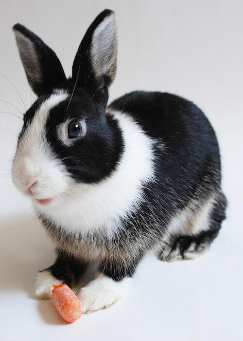 Dutch Bunny