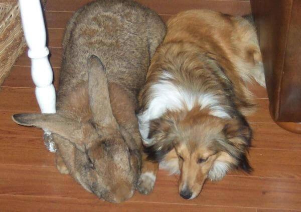 flemish giant rabbit largest breed