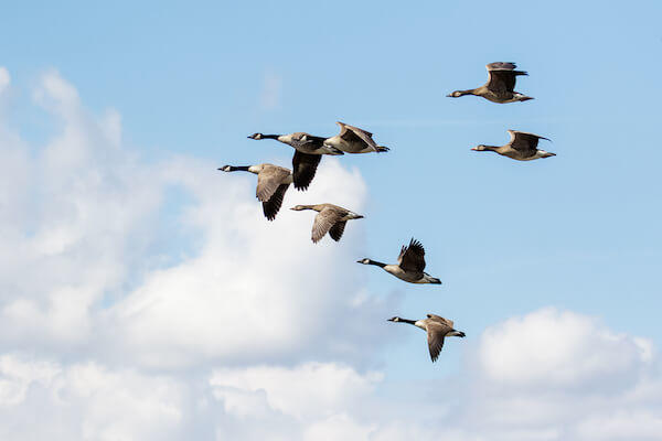 Canada Geese Migrating