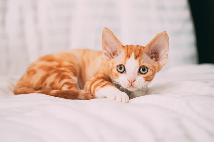 a little ginger devon rex kitten