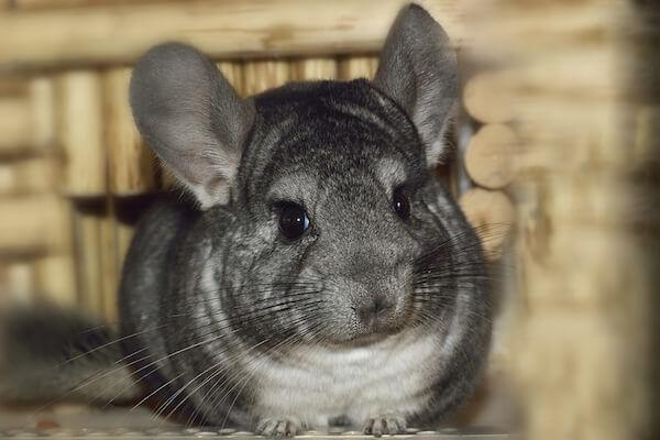 Grey Chinchilla