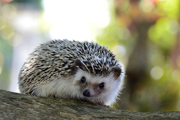 hedgehogs are not related to porcupines