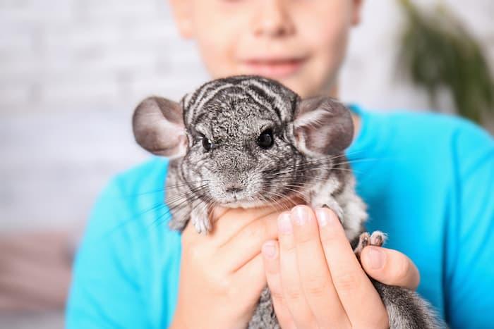 holding a chinchilla