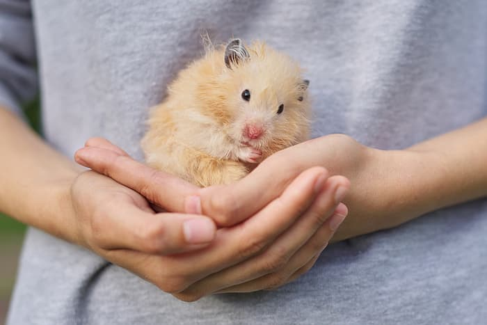 holding a golden fluffy hamster