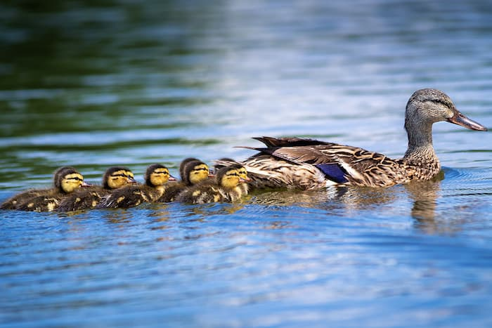 duck with babies in a pond