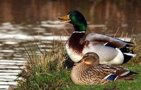duck health