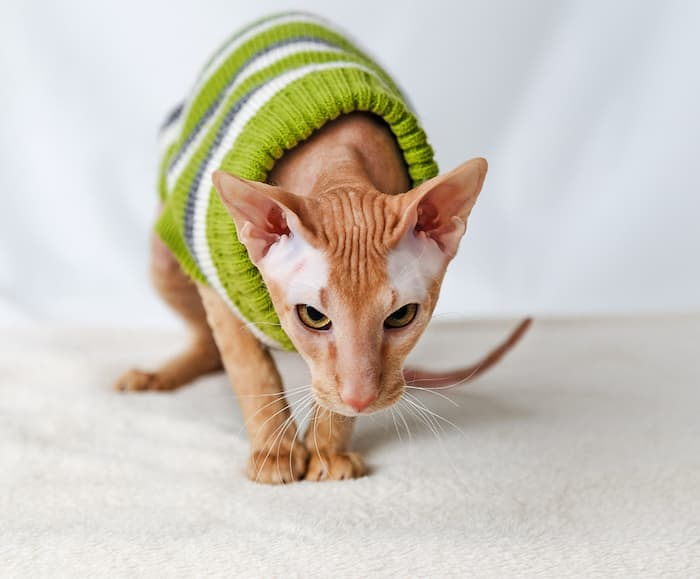 peterbald cat in sweater