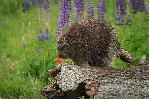 Porcupine Species
