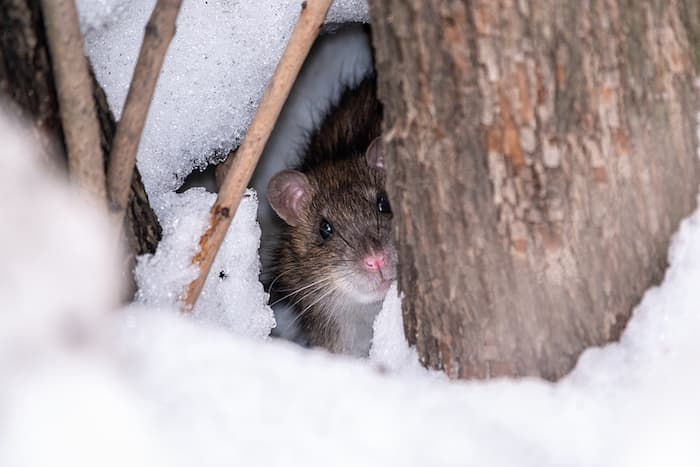 Rat in the Snow