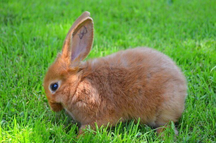 red new zealand rabbit