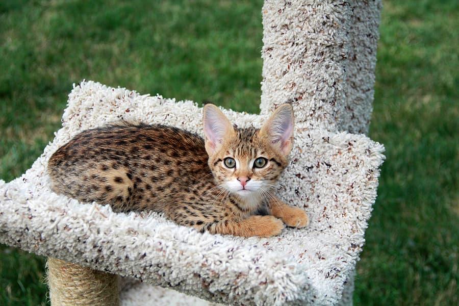 savannah kitten in cat tree