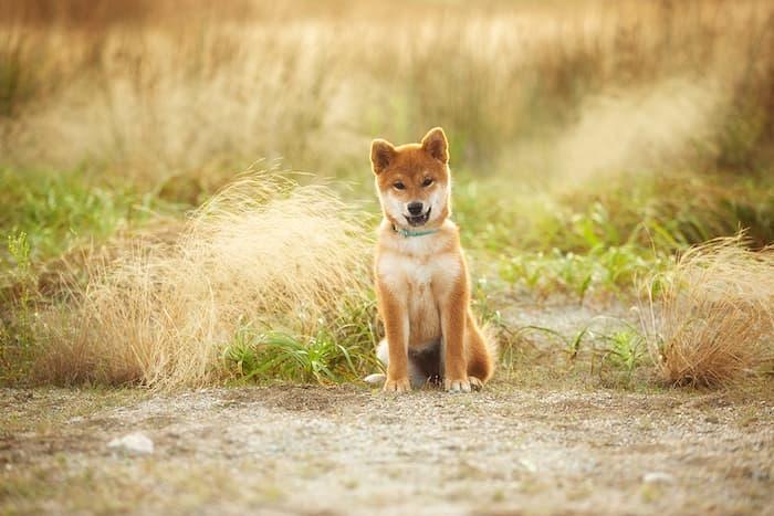 shiab inu puppy