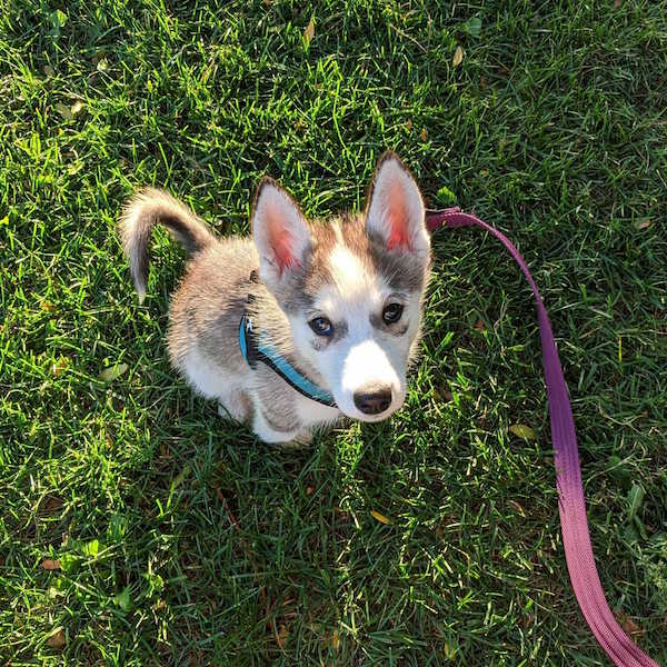 small-husky-puppy-in-grass