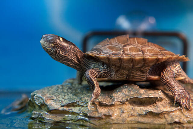 the map turtle
