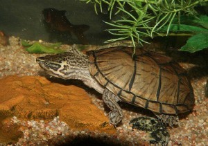 the musk turtle
