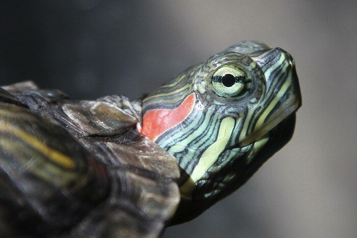 the red eared slider