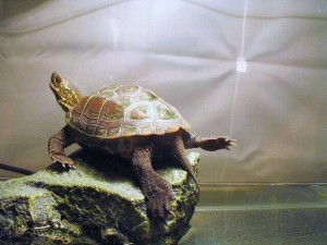 the reeves turtle